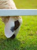 Pecore cape Fotografia Stock