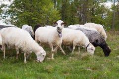 Pecore carpatiche fotografia stock