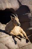 Pecore caucasiche ad ovest sviluppate del tur della madre che riposano sulla scogliera soleggiata Fotografie Stock