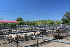 Pecore che aspettano nelle recinzioni ad un'asta di bestiame a Bloemfontein, Sudafrica fotografia stock
