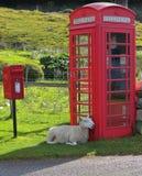 Pecore che aspettano una telefonata in altopiani scozzesi Immagine Stock Libera da Diritti