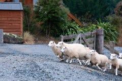 Pecore che attraversano un portone in Otago centrale fotografie stock libere da diritti