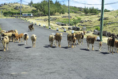 Pecore che camminano liberamente sulla strada, Rodrigues Island Fotografie Stock