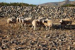 Pecore che camminano in montagna Fotografia Stock