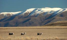 Pecore che camminano nell'ambito dell'intervallo di montagna nevoso Fotografia Stock Libera da Diritti