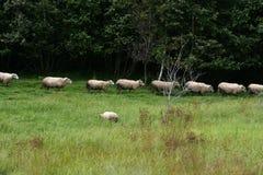 Pecore che camminano in una linea attraverso un campo di erba Immagine Stock Libera da Diritti