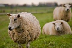 Pecore che camminano via Immagine Stock