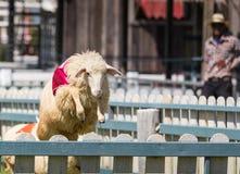 Pecore che corrono nell'azienda agricola Fotografia Stock