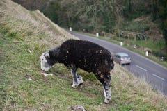 Pecore che guardano fisso sul pendio di collina dell'erba sopra la strada con l'automobile sotto  fotografia stock