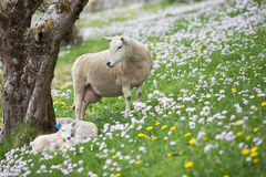 Pecore che guardano sopra i suoi agnelli Fotografia Stock Libera da Diritti