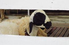 Pecore che guardano tramite un recinto bianco Fotografia Stock Libera da Diritti