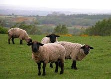 Pecore che lo guardano (suffo del Ovis Fotografie Stock Libere da Diritti