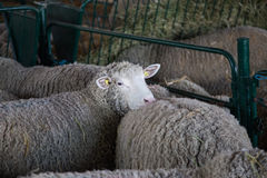 Pecore che loking Immagine Stock Libera da Diritti