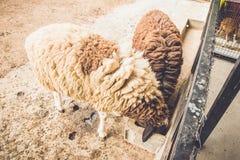 Pecore che mangiano alimento allo zoo esotico eccezionale in Tailandia Immagine Stock