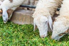 Pecore che mangiano erba Fotografia Stock Libera da Diritti