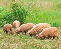 Pecore che mangiano erba Immagini Stock Libere da Diritti