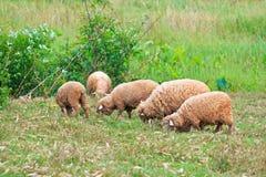Pecore che mangiano erba Fotografia Stock
