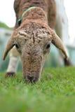 Pecore che mangiano erba Immagini Stock