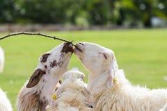 Pecore che mangiano erba in allevamento di pecore Fotografia Stock