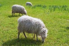 Pecore che mangiano erba su un campo verde in Baviera, Germania Fotografia Stock