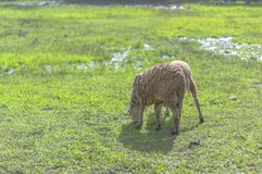 Pecore che mangiano erba sui campi Immagine Stock Libera da Diritti