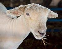 Pecore che mangiano fieno Fotografia Stock