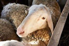 Pecore che mangiano fieno in penna sull'azienda agricola Fotografia Stock