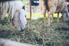 Pecore che mangiano le erbe in un campo ed in un allevamento di pecore Fotografia Stock