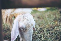Pecore che mangiano le erbe in un campo ed in un allevamento di pecore Fotografie Stock Libere da Diritti