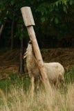 Pecore che mangiano sale immagine stock libera da diritti