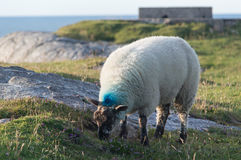 Pecore che mangiano sull'erba immagini stock libere da diritti