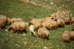 Pecore che mangiano sulla collina Immagini Stock