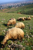 Pecore che mangiano sulla collina Fotografia Stock Libera da Diritti