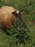 Pecore che masticano sulla pianta in pascolo Immagini Stock