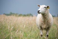 Pecore che osservano da parte Fotografie Stock