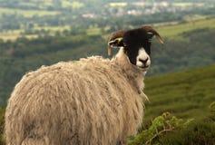 Pecore che osservano indietro con il cappotto spesso Fotografia Stock