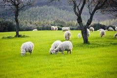 Pecore che pascono Immagine Stock Libera da Diritti