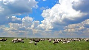 Pecore che pascono video d archivio