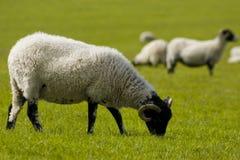 Pecore che pascono Fotografia Stock Libera da Diritti