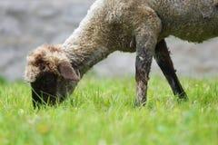 Pecore che pascono Fotografie Stock Libere da Diritti