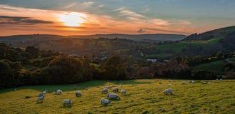 Pecore che pascono Immagini Stock Libere da Diritti