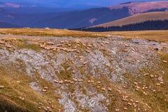 Pecore che pascono dal lato della montagna immagini stock libere da diritti