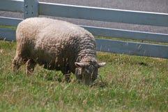 Pecore che pascono dal recinto Immagini Stock Libere da Diritti