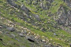 Pecore che pascono erba fra le rocce della montagna Fotografia Stock Libera da Diritti