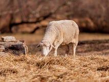 Pecore che pascono in Hopewell, Pensilvania fotografie stock