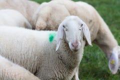 Pecore che pascono II Immagine Stock