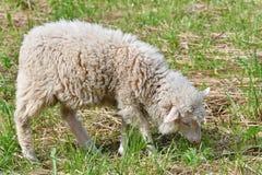 Pecore che pascono l'erba sul prato Fotografie Stock