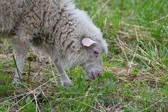 Pecore che pascono l'erba sul prato Immagini Stock Libere da Diritti