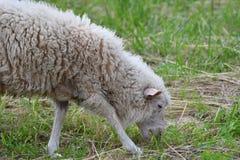 Pecore che pascono l'erba sul prato Fotografia Stock