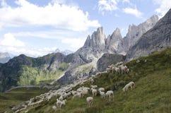 Pecore che pascono in montagna Immagine Stock